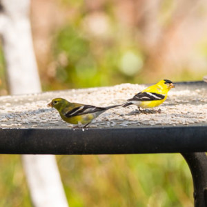 American-Goldfinch-Pair-6306